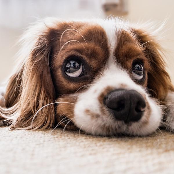 Huisdieren en uw vloer